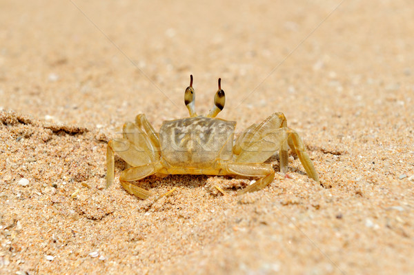 Marine crab on beach Stock photo © byrdyak