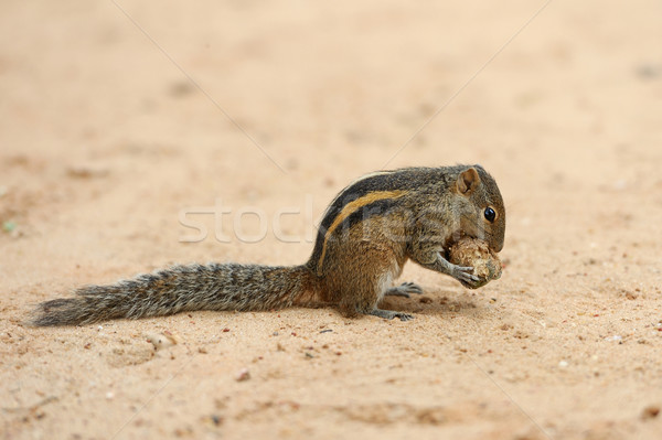 Ardilla ardilla Sri Lanka isla madera Foto stock © byrdyak