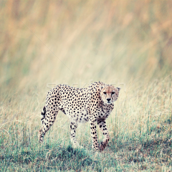 Guépard Afrique Kenya sauvage africaine belle Photo stock © byrdyak