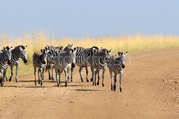 Zebra Afrika park Kenya fű ló Stock fotó © byrdyak