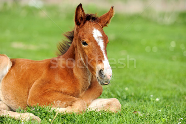 Horse on a meadow Stock photo © byrdyak