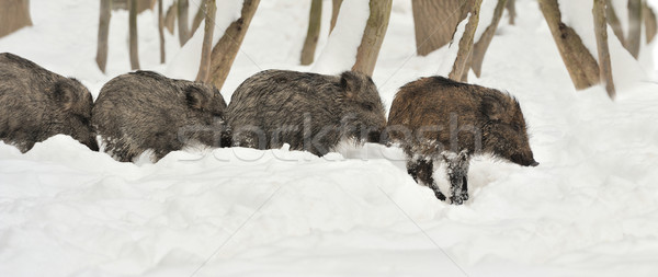 кабан зима лес весны Сток-фото © byrdyak