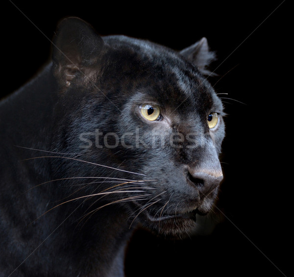 Black Panther Stock photo © byrdyak