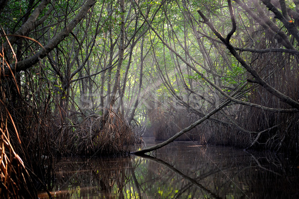 Thickets of mangrove trees in the tidal zone Stock photo © byrdyak