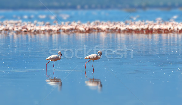 Flamingos on lake. Kenya, Africa Stock photo © byrdyak