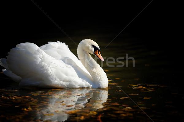 Cisne lago natación agua puesta de sol Pareja Foto stock © byrdyak
