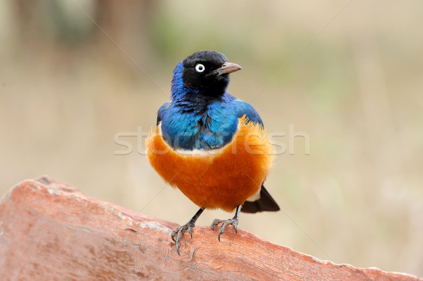 Colourful bird Superb  Stock photo © byrdyak