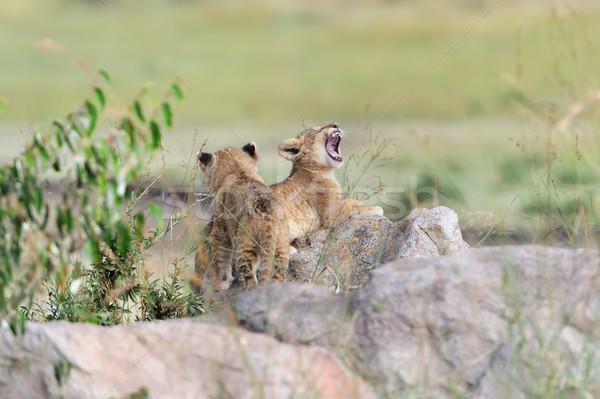 Oroszlán medvebocs afrikai park Kenya Afrika Stock fotó © byrdyak