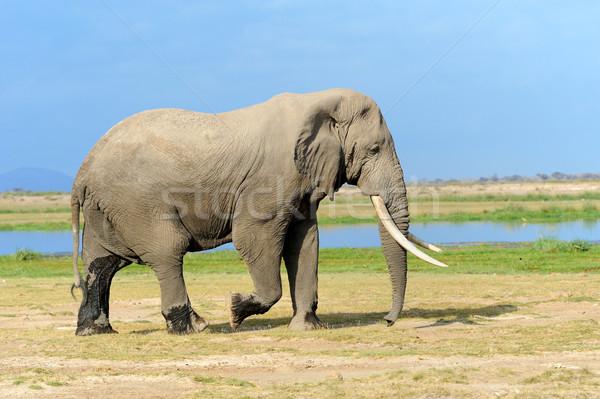 Сток-фото: слон · парка · Кения · большой · Африка · ребенка