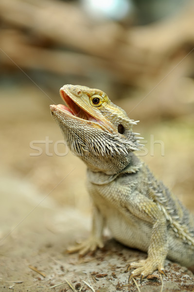 Bearded Dragon Lizard Stock photo © byrdyak
