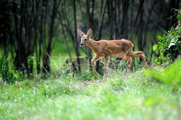 Young deer Stock photo © byrdyak