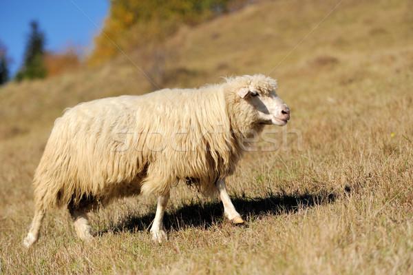 Pecore campo autunno faccia farm giovani Foto d'archivio © byrdyak
