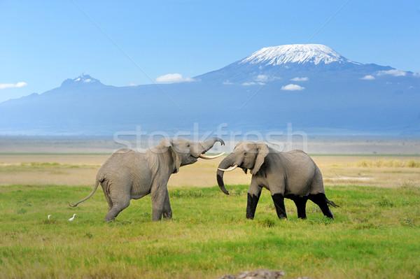 Elephant with Mount Kilimanjaro Stock photo © byrdyak