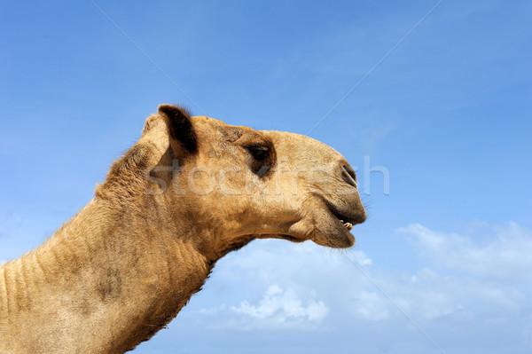 Camel head Stock photo © byrdyak