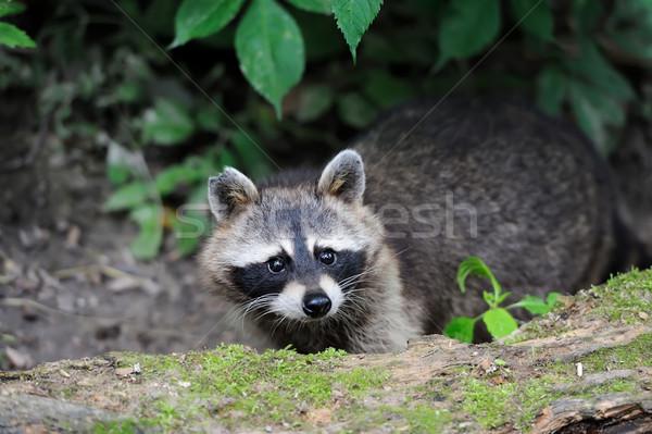 Raccoon Stock photo © byrdyak