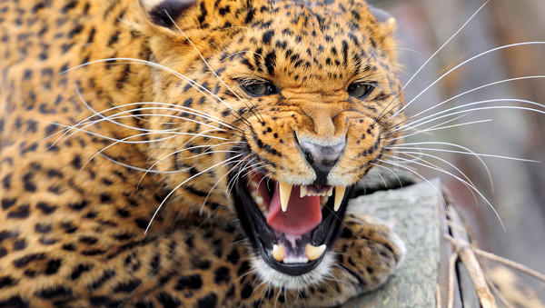 Leopar portre yüz siyah hayvan Stok fotoğraf © byrdyak