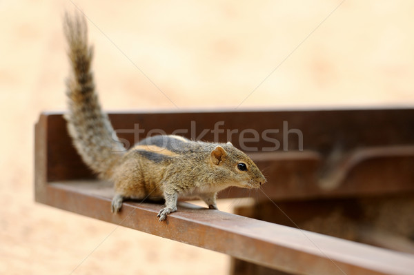 Wild chipmunk Stock photo © byrdyak