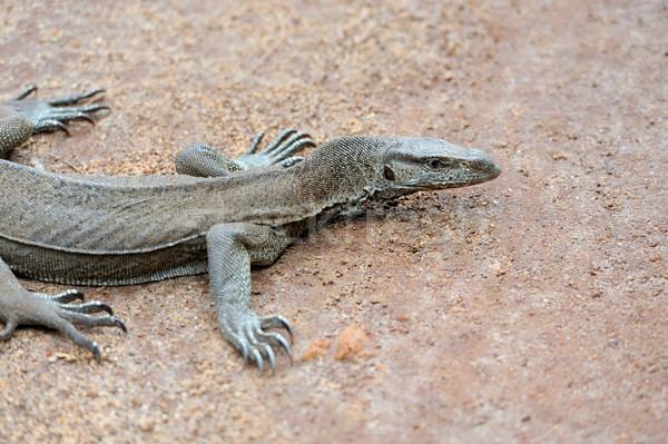 Supervisar lagarto grande Sri Lanka agua Asia Foto stock © byrdyak