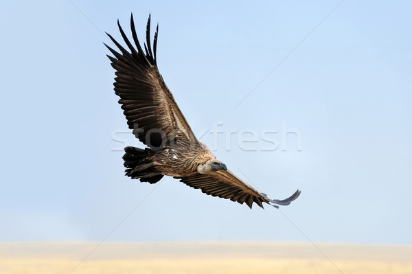 Vulture flying. Masai Mara National Park Stock photo © byrdyak