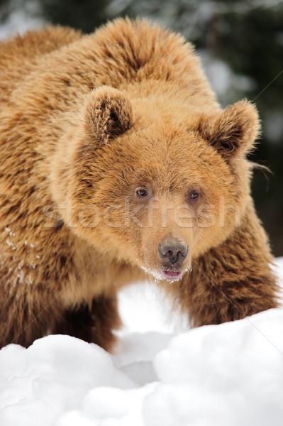 Wild brown bear Stock photo © byrdyak