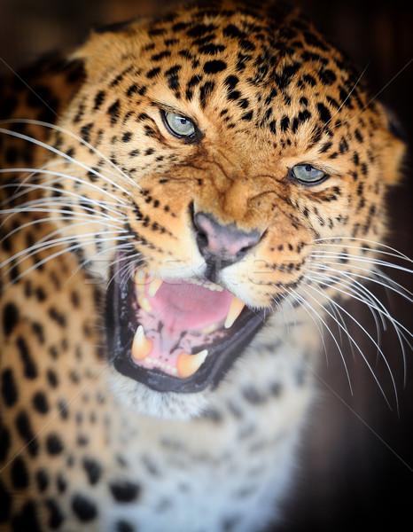 Leopar portre karanlık göz yüz Afrika Stok fotoğraf © byrdyak