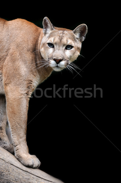 Puma Stock photo © byrdyak