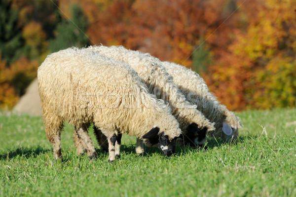 Flock sheep on a autumn field Stock photo © byrdyak
