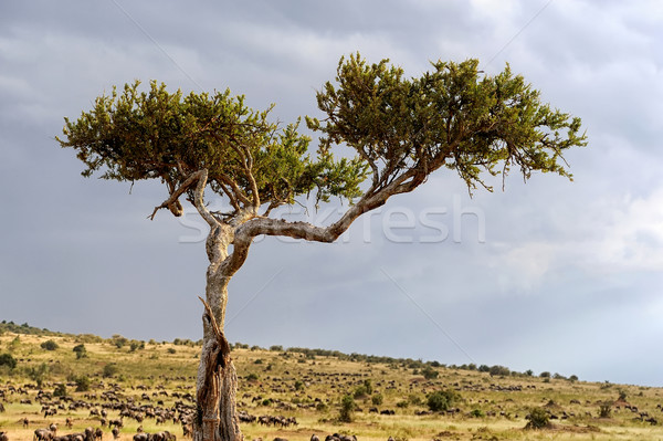Landscape with tree in Africa Stock photo © byrdyak