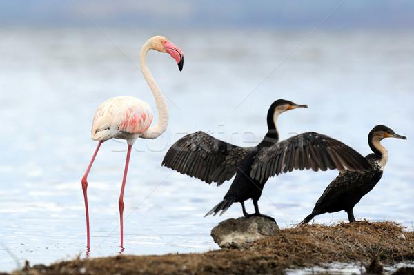 Flamingó gyönyörű tó Kenya Afrika tájkép Stock fotó © byrdyak