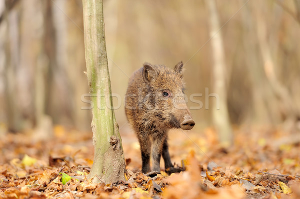 Young wild boar in forest Stock photo © byrdyak