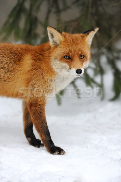 Rouge Fox hiver temps printemps visage Photo stock © byrdyak