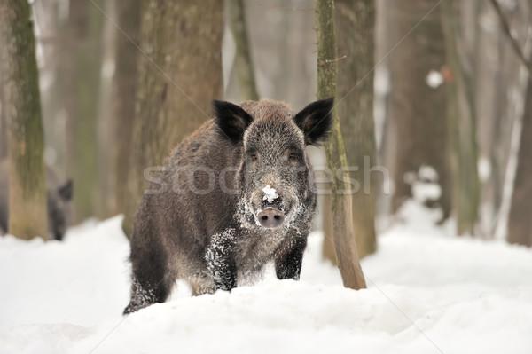 кабан зима лес дерево портрет Сток-фото © byrdyak