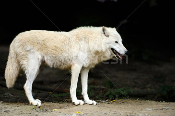 Stock photo: Wild wolf in the woods