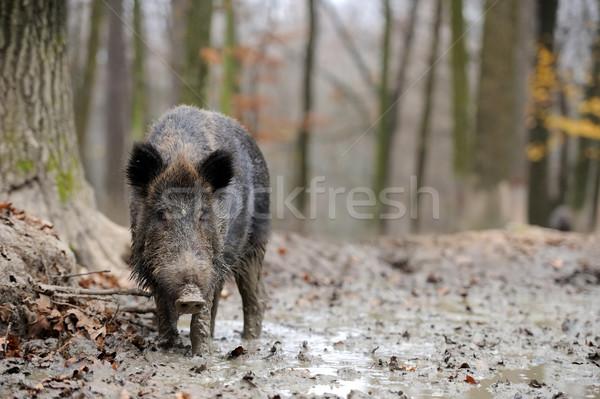 кабан осень лес весны свинья Сток-фото © byrdyak