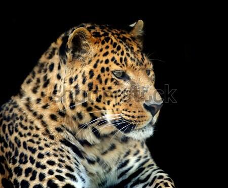 Leopardo oscuro cara naturaleza Foto stock © byrdyak