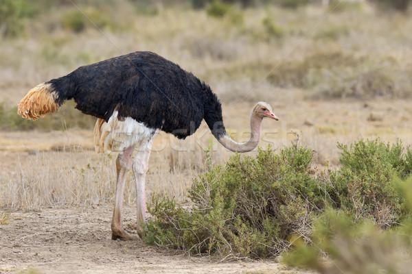 African ostrich (Struthio camelus) Stock photo © byrdyak