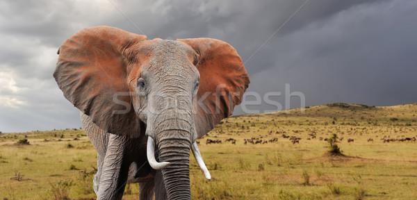 слон парка Кения Африка ребенка трава Сток-фото © byrdyak