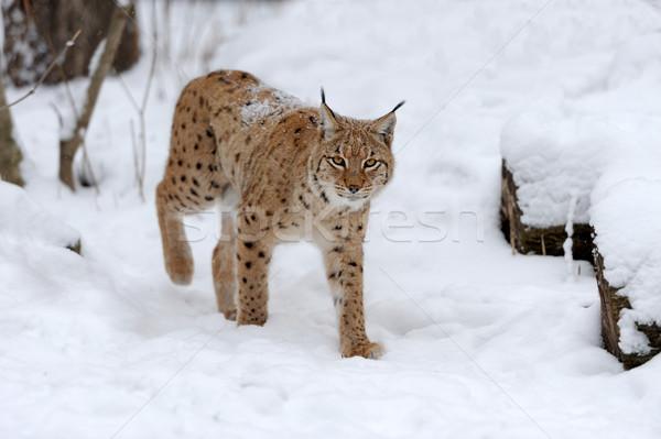 Vaşak genç kış orman ağaç kedi Stok fotoğraf © byrdyak