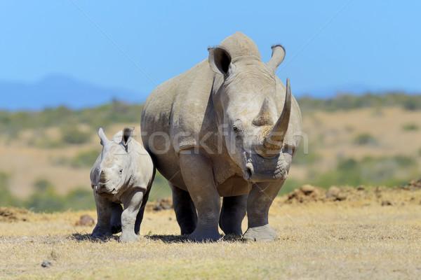 アフリカ 白 サイ 公園 ケニア アフリカ ストックフォト © byrdyak