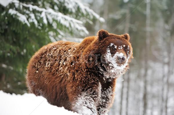 Wild bruine beer winter bos hout achtergrond Stockfoto © byrdyak