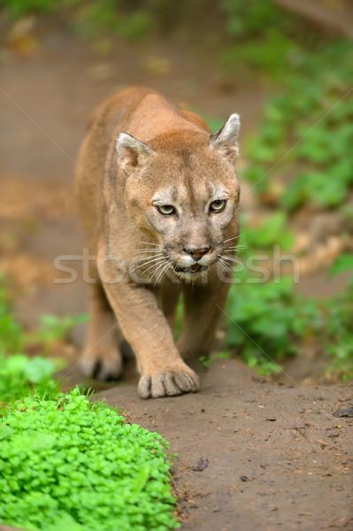Cougar Stock photo © byrdyak