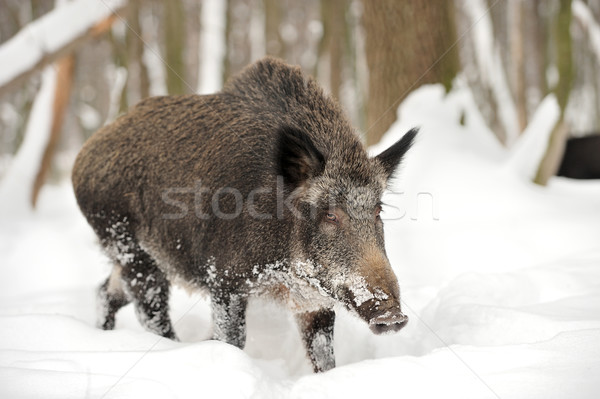 Foto stock: Javali · inverno · floresta · árvore · retrato