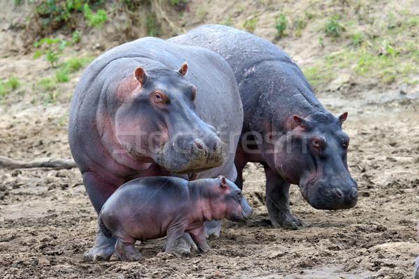 Hippo family Stock photo © byrdyak