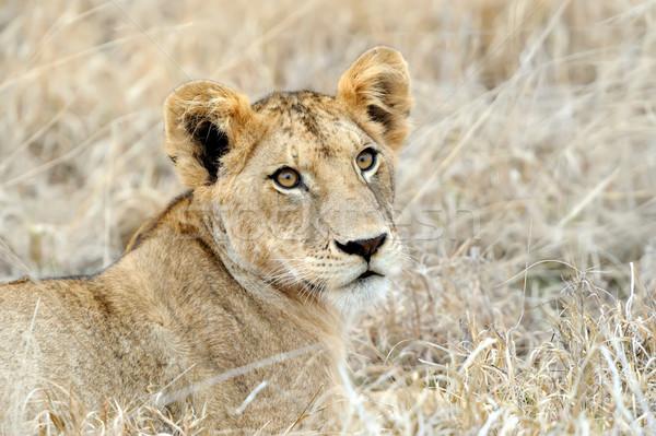 Fechar leão parque Quênia África gato Foto stock © byrdyak