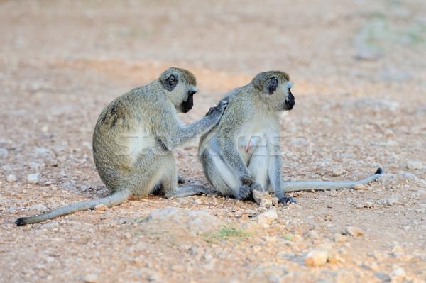 Two Vervet Monkey Stock photo © byrdyak