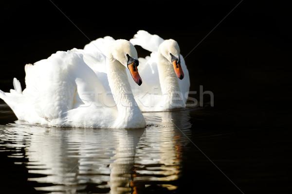 Cisne lago natação água pôr do sol casal Foto stock © byrdyak