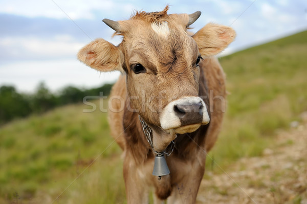 Cow in nature Stock photo © byrdyak