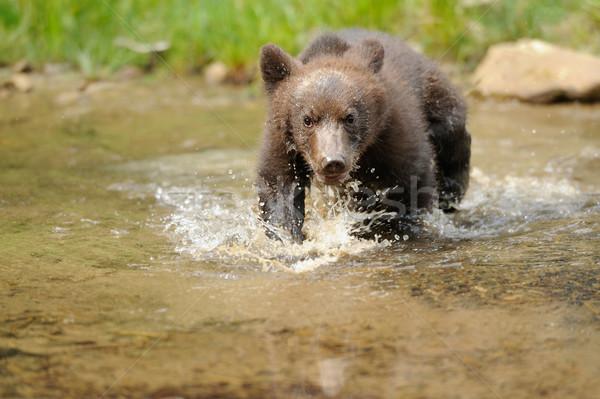 Brown bear cub Stock photo © byrdyak