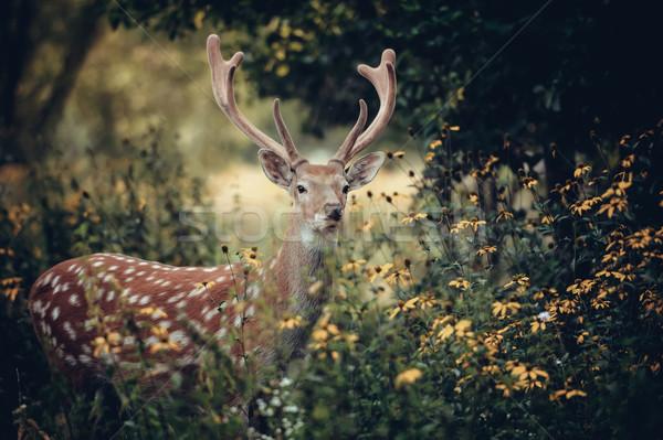 Whitetail deer Stock photo © byrdyak