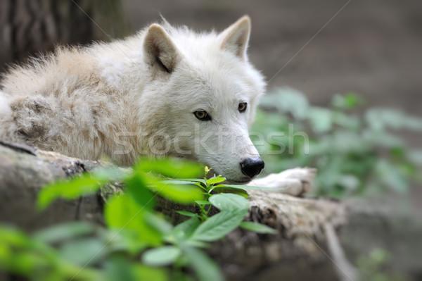 волка Арктика полярный собака глаза лице Сток-фото © byrdyak